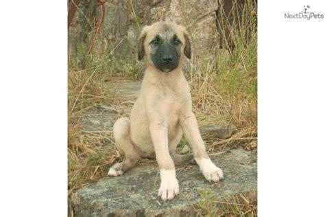 anatolian shepherd puppies for sale meet akc a anatolian shepherd puppy for sale for 850 akc
