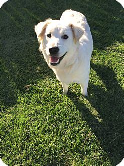 golden retriever puppies boise idaho boise id golden retriever mix meet dixie a for adoption