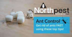 Ants In Pantry Get Rid Of by Ants Archives Northpest Pest Specialists