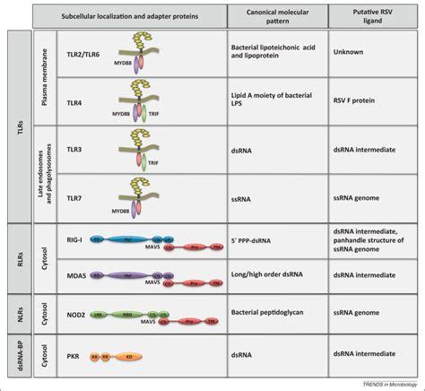 pattern recognition receptors virus pathogen recognition receptor crosstalk in respiratory