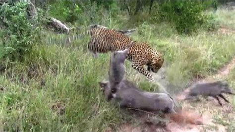 Hunters Appointed To Kill Leopards 아프리카 표범의 혹멧돼지 사냥 Leopard Warthog