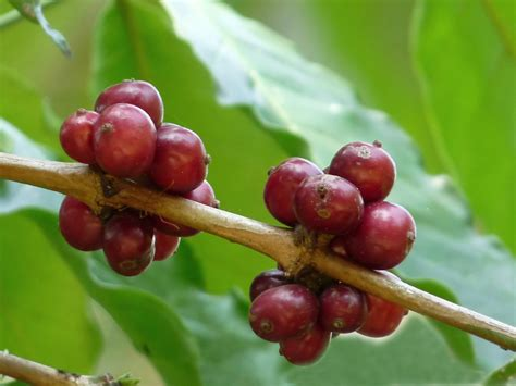 File:Coffea canephora 2 at Aanakkulam   Wikimedia Commons