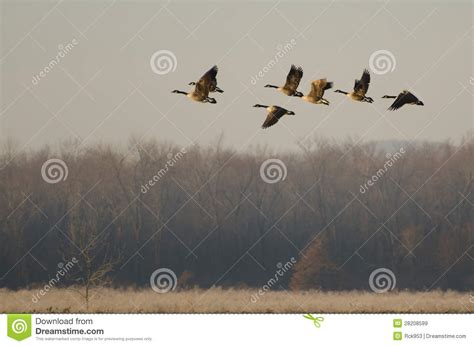 taking a to canada canada geese taking to flight royalty free stock images image 28208599