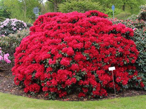 Rhododendron Flachwurzler by Rhododendron Buketta Rhododendron Repens Buketta