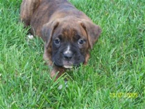 boxer puppies for sale miami boxer puppies for sale