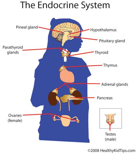 diagram of endocrine system diagram endocrine system driverlayer search engine