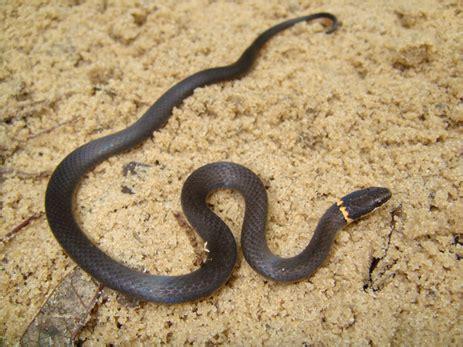 black snake with orange ring around neck ringneck snake florida eco travel guide
