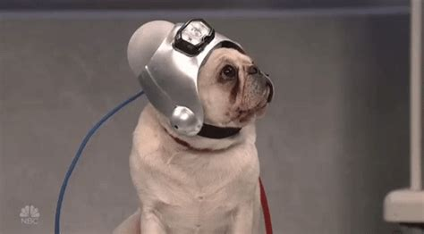 snl pug pug gif by saturday live find on giphy