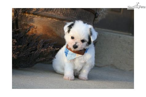 chi poodle lifespan chi poo chipoo puppy for sale near rock arkansas