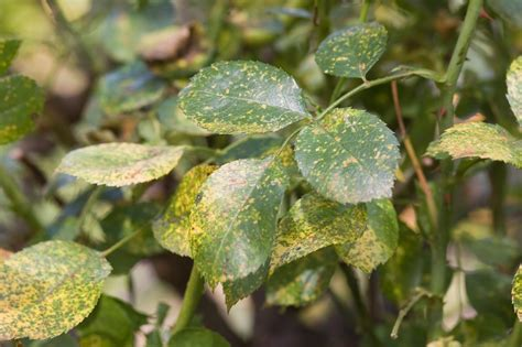 common diseases problems with roses common diseases for bushes common diseases agriculture