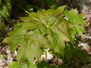 woodland plants with large leaves identify that plant