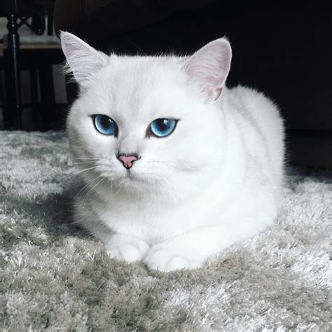 breeds with blue cat breeds with blue and white fur hairsstyles co