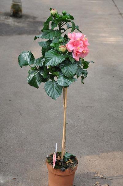 hibiskus zimmerpflanze kaufen chinarose hibiskus st 228 mmchen in rosa der palmenmann