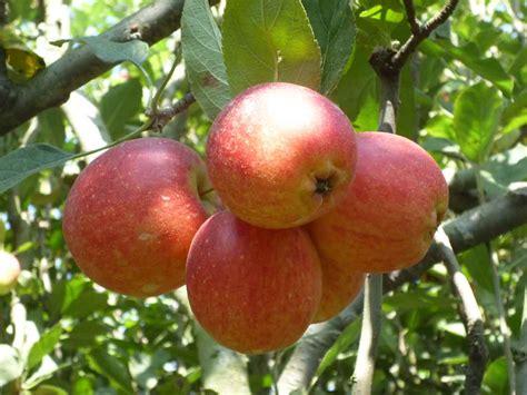 Buah Apel cara alami menghilangkan jerawat di punggung