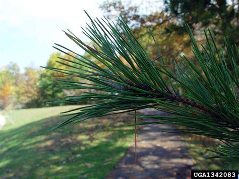 table mountain pine table mountain pine pinus pungens pinales pinaceae