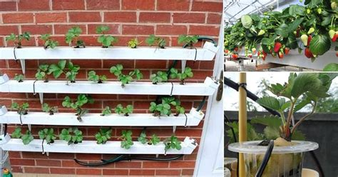 growing strawberries hydroponically   grow