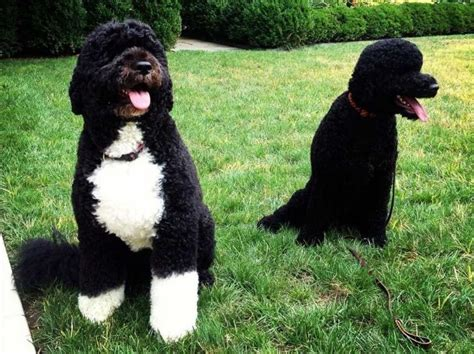 obama breed 10 best breeds of all time beyond the coupon