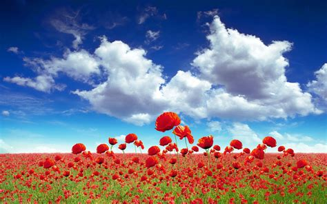poppy background poppy field flower background wallpaper wiki