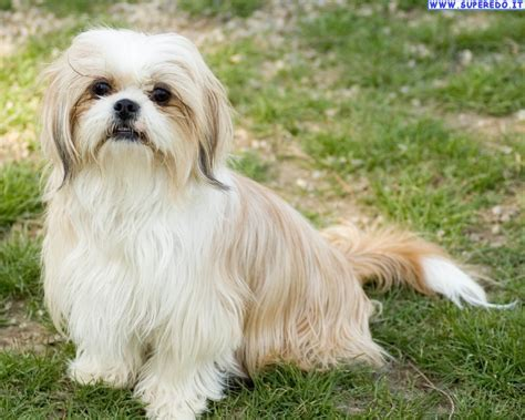 about shih tzu shih tzu pictures on animal picture society