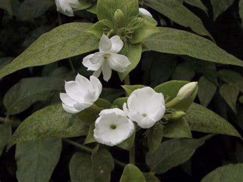 el templo del jazmin reproducir el jazm 237 n aromaticas flor de planta flor de planta