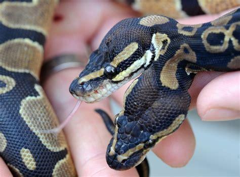 serpenti a due teste il pitone a due teste mostrato per la prima volta ai