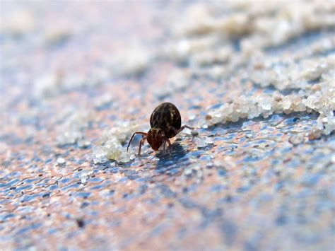 Tiny Bugs In Bathroom Springtails by Bugblog More On Pole Vaulters