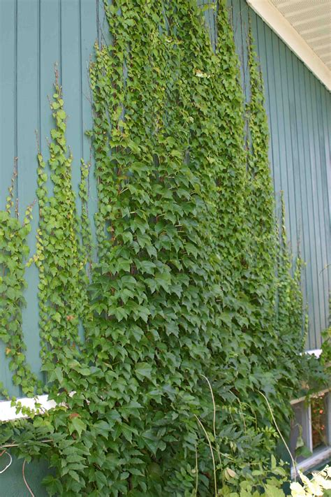 what is a climbing plant do climbing plants damage walls laidback gardener