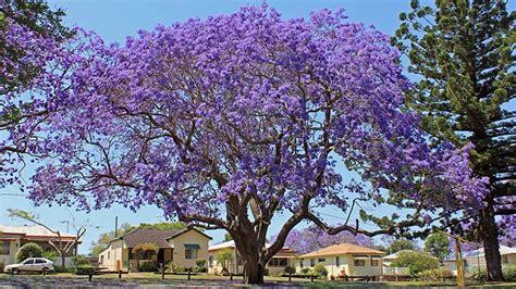 Benihbijibibit Pohon Flamboyan Ungu jacaranda city in bloom abc coast nsw australian broadcasting corporation