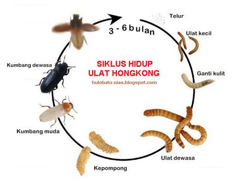 hulobatu nias budidaya ulat hongkong mealworm