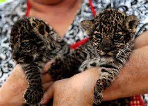 How Do Jaguars Babies Jaguars Born In Nicaraguan Zoo Baby Animal Zoo