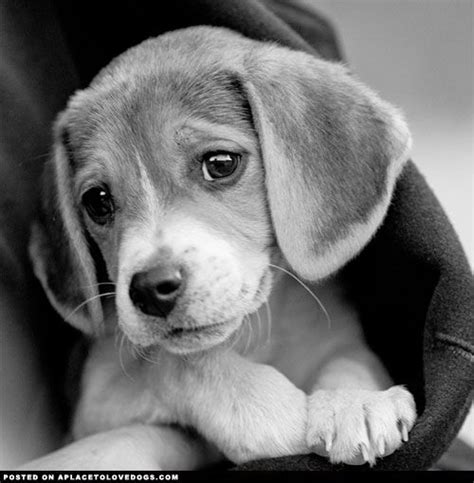 baby beagle puppies 25 best ideas about baby beagle on beagle puppies dogs and puppies