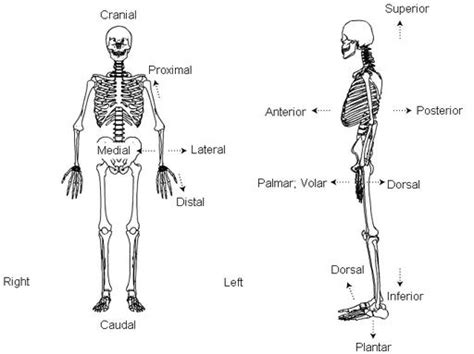 anatomical position diagram skeletal series a the biological basis of bone and