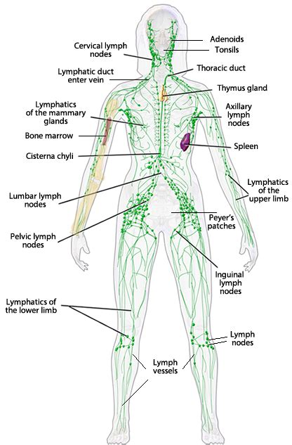 diagram of lymphatic system immune system diagram without labels
