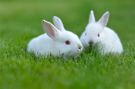 12 Md Rabbit Bery White pet rabbits expectancy and other interesting rabbit facts maryland pets