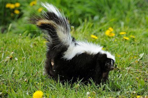 rid  skunk odor   works