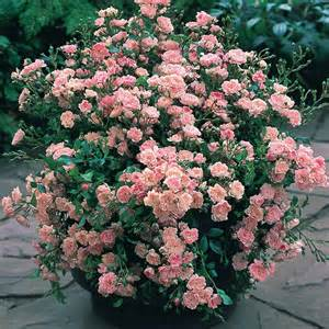 Old Fashioned Flowering Shrubs - buy rose the fairy pink j parker dutch bulbs