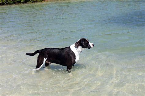 Catahoula Bulldog Pictures