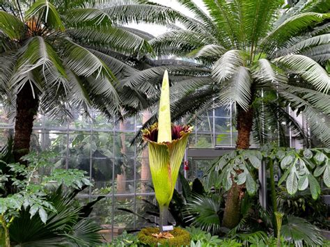 Botanical Gardens Corpse Flower Blooming Corpse Flower Stinks Up Dc To The Delight Of Tourists Abc News