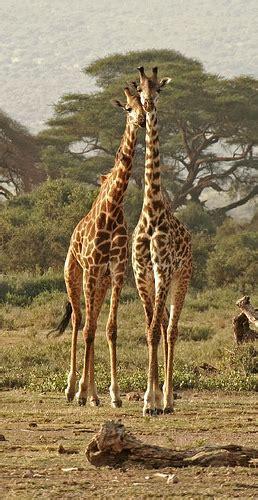 imagenes de jirafas locas por qu 233 las jirafas tienen el cuello largo taringa