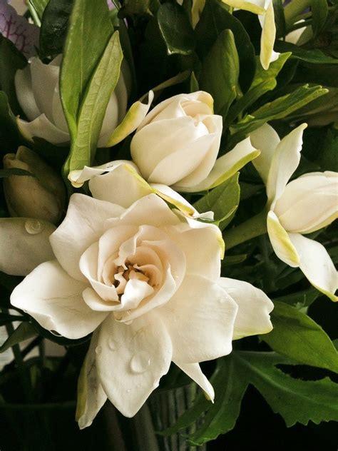 tips  fertilizing gardenia plants