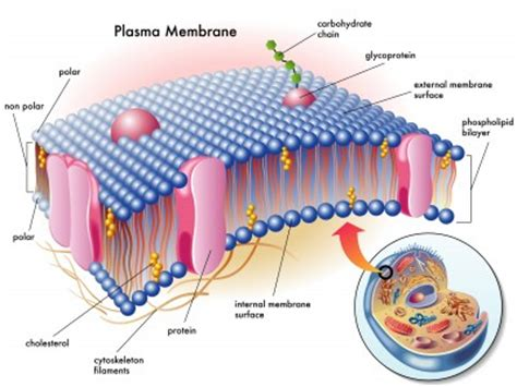 print human anatomy  physiology chapter  cells