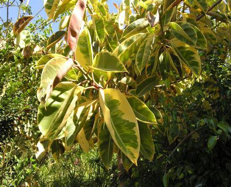 ficus elastica ficus elastica roxb ex hornem indian rubberplant