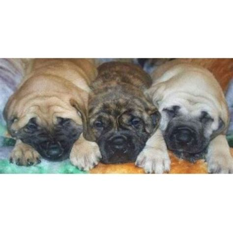 mastiff puppies for free mastiff puppies and dogs for sale and adoption freedoglistings