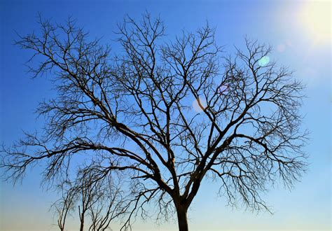 bare tree in the sun free stock photo domain pictures