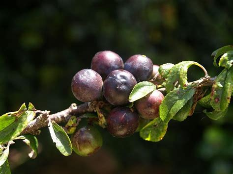 fruit of blackthorn tree prunus spinosa blackthorn or sloe rosaceae images