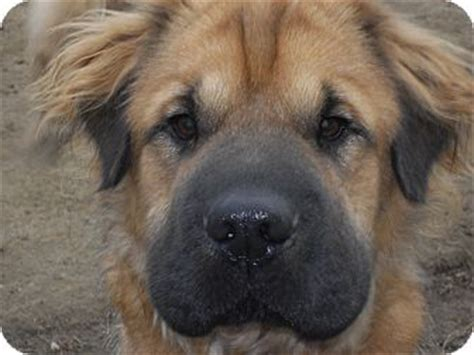 shar pei and golden retriever mix meatloaf adopted nashua nh shar pei golden retriever mix