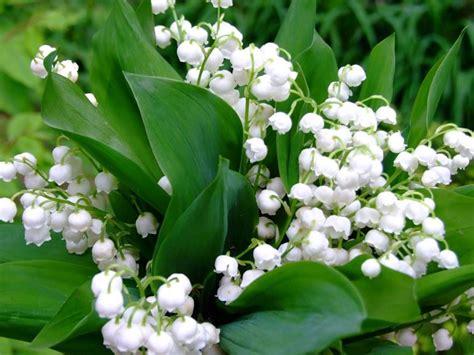 mughetto fiori fiori di mughetto fiori di piante