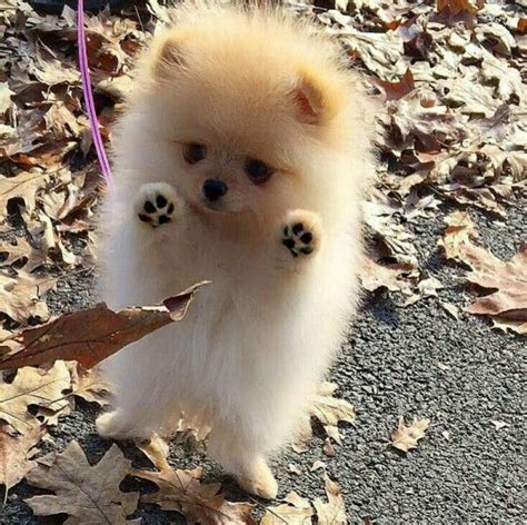 baby pomeranian for sale best 25 baby pomeranian ideas on