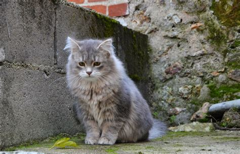 Obesity in Siberian Cats   Vets Help