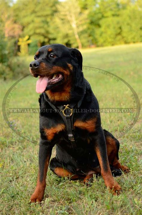 small rottweiler order tracking genuine leather rottweiler harness brass fittings